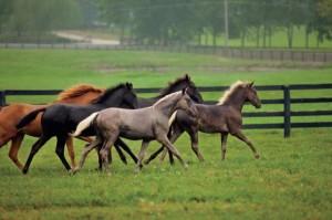 kentucky horses